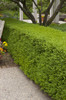 Wintergreen Boxwood Hedge