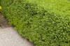 Wintergreen Boxwood Foliage