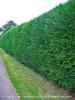 Leyland Cypress Hedge Along Road