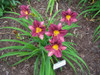 Purple De Oro Daylily Flowers