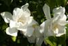 Jubilation Gardenia Flowers Up Close