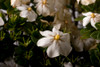 ScentAmazing Gardenia Flowers and Leaves