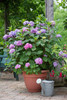 Tall Endless Summer Bloomstruck Hydrangea Shrub in Planter