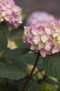 Pink Endless Summer Bloomstruck Hydrangea Flower in Branch