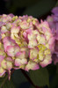 Endless Summer Bloomstruck Hydrangea Pink Bloom
