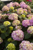 Pink Endless Summer Bloomstruck Hydrangea Flowers