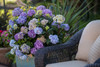 Endless Summer Bloomstruck Hydrangea in Planter by Wicker Chair