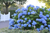 The Original Endless Summer Hydrangea Shrub with Blue Flowers