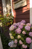 The Original Endless Summer Hydrangea With Pink Flowers