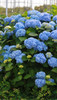 The Original Endless Summer Hydrangea Bush
