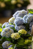 The Original Endless Summer Hydrangea Blooms up Close