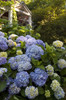 The Original Endless Summer Hydrangea Bush With Blue Blooms