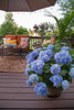 The Original Endless Summer Hydrangea in the Patio in a Planter