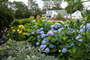 The Original Endless Summer Hydrangea in Landscaping
