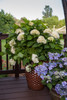 Endless Summer Blushing Bride Hydrangea  in Pot on the Deck