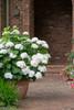 Endless Summer Blushing Bride Hydrangea  in Planter