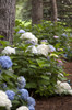 Endless Summer Blushing Bride Hydrangea  Side View