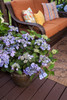 Endless Summer Twist-n-Shout Hydrangea in a Planter on the Patio