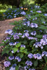 Endless Summer Twist-n-Shout Hydrangea Shrub With Purple Flowers