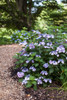Endless Summer Twist-n-Shout Hydrangea By Garden Path