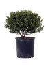 Compact Japanese Holly in Container