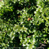 Compact Japanese Holly Foliage