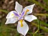 Dietes grandiflora Flower