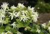 Emerald Snow Loropetalum Blooms