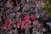 Red Diamond Loropetalum Blooms