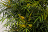 Soft Caress Mahonia Foliage