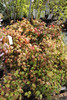 firepower dwarf nandina shrub