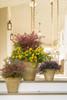 Obsession Nandina in Garden Planter