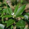 Fragrant Tea Olive Cropped