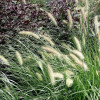 Dwarf Fountain Grass Cropped