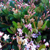 Eleanor Taber Indian Hawthorn Pink Blooms Cropped
