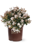 Spring Sonata Indian Hawthorn in Branded Pot