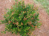 CopperTone Distylium Shrub