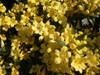 Carolina Jessamine Yellow Flowers