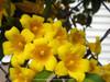Gelsemium sempervirens Yellow Flowers