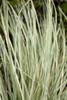 Platinum Beauty Lomandra Blades of Grass