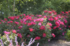 Red Knock Out Rose in Landscaping