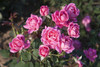 Pink Double Knock Out Rose Flowers