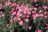 Pink Knock Out Rose in Landscaping