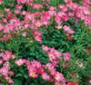 Pink Drift Rose Shrub Full of Flowers