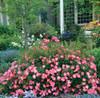 Pink Drift Rose Shrub in Landscaping