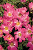 Pink Drift Roses Up Close