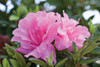 Autumn Carnation Encore Azalea Flower