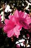 Autumn Empress Encore Azalea Flower