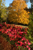 Autumn Empress Encore Azalea Hedge