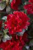 Autumn Fire Encore Azalea Flower